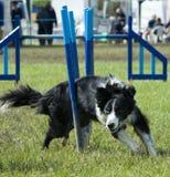 Hund, der durch Hindernis spinnt Stockfotografie