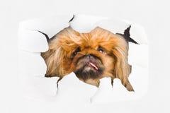 Hund, der durch Loch auf Papier schaut Stockfoto