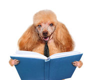 Hund, der ein Buch liest Lizenzfreies Stockbild