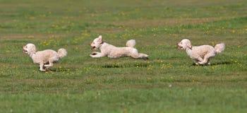 Hund, der in ein Feld läuft Lizenzfreie Stockfotografie