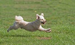 Hund, der in ein Feld läuft Lizenzfreie Stockbilder