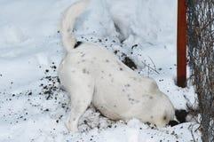 Hund, der ein Loch im Schnee gräbt stockbild