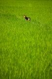 Hund, der ein Reisfeld hält Lizenzfreies Stockbild