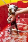 Hund, der ein Schaumbad nimmt Lizenzfreies Stockbild