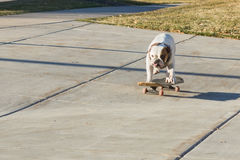 Hund, der ein Skateboard auf die Straße reitet Lizenzfreie Stockbilder