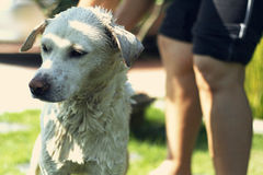 Hund, der eine Dusche nimmt Stockfotos