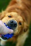 Hund, der eine Kugel anhält Stockfotografie