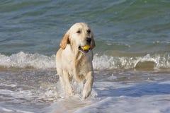 Hund, der eine Kugel zurückholt lizenzfreie stockbilder