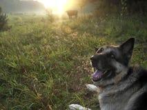Hund, der eine Kuh in Herden lebt Stockbild
