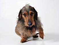 Hund, der eine Tatze gibt Lizenzfreie Stockfotografie