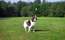 Hund, der einen Ball fängt Stockbild