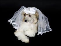 Hund, der einen Brautschleier trägt Stockbilder