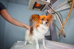 Hund, der einen Röntgenstrahl an einer Veterinärklinik empfängt lizenzfreie stockbilder