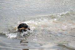 Hund, der einen Stock holt Lizenzfreies Stockbild