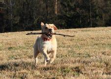 Hund, der einen Stock zurückholt Lizenzfreie Stockbilder