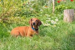 Hund, der in einer Wiese unter Blumen liegt Stockfoto