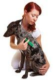 Hund, der Einspritzung am Tierarzt erhält Stockfotografie