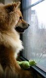 Hund, der am Fenster wartet Stockfotografie