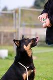 Hund, der Festlichkeit vom Eigentümer erwartet Lizenzfreie Stockfotos