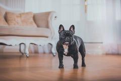 Hund der französischen Bulldogge Lizenzfreies Stockfoto
