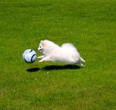Hund, der Fußball spielt Stockfotografie