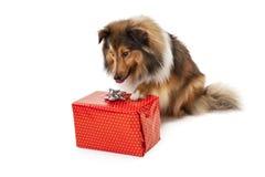 Hund, der Geschenk betrachtet Stockfoto