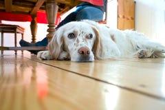 Hund, der am hölzernen Fußboden liegt Lizenzfreie Stockfotos