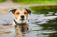 Hund, der Hauptüberwasserschwimmen im Fluss hält Lizenzfreies Stockbild
