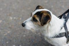 Hund, der heraus auf der Straße schaut Lizenzfreie Stockfotografie
