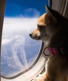 Hund, der heraus Flugzeugfenster schaut
