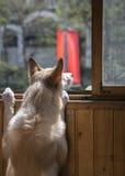 Hund, der heraus schaut Lizenzfreies Stockfoto