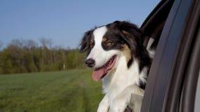 Hund, der heraus seins Hauptautofenster haftet stock video