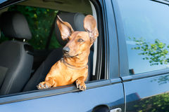 Hund, der heraus vom Autofenster schaut Lizenzfreies Stockfoto