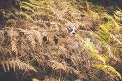 Hund, der hinter Blättern sich versteckt Lizenzfreie Stockfotografie