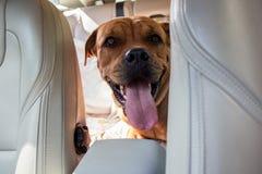 Hund, der in hinteres Ende eines Autos fährt Haustiertransport Stockfoto