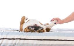 Hund, der im Bett schläft stockbilder