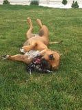 Hund, der im Garten kühlt Stockbilder