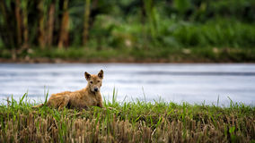 Hund, der im Gras liegt Stockbilder