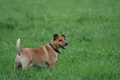 Hund, der im hohen Gras steht Stockfotografie