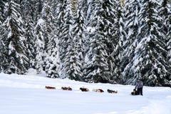 Hund, der im Holz - Dolomiti rodelt Stockfotografie
