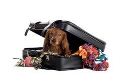 Hund, der im Koffer spielt Stockfotografie
