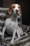 Hund, der im Lehnsessel sitzt stockfotografie