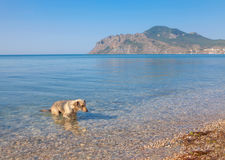 Hund, der im Meer badet Stockfotografie
