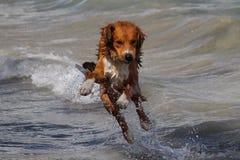 Hund, der im Ozean spielt stockfoto