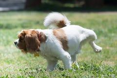 Hund, der im Park pinkelt Stockbild