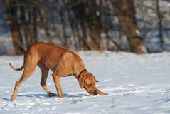 Hund, der im Schnee aufspürt stockfoto