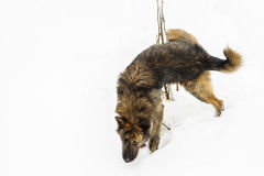 Hund, der im Schnee pinkelt Stockbilder