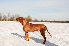 Hund, der im Schnee steht Stockbild