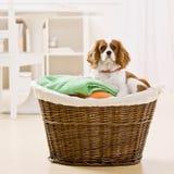 Hund, der im Wäschereikorb sitzt lizenzfreie stockfotografie