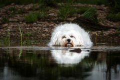 Hund, der im Wasser liegt Lizenzfreies Stockbild